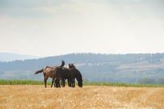 Beta för hästar Royaltyfria Bilder