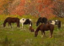 Beta för hästar Arkivfoto