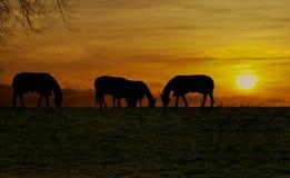 Hästar på sundownen Royaltyfri Fotografi