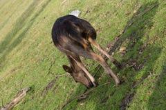 beta för hjortar Royaltyfria Foton