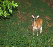 Beta för hjortar Royaltyfri Bild