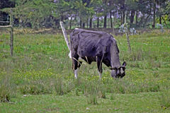 beta för ko Arkivbild
