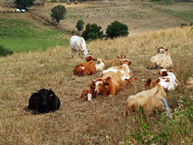 beta för kor arkivbild