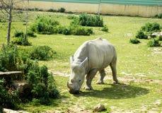 Beta för noshörning Royaltyfri Foto