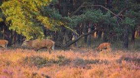 Beta för röda hjortar lager videofilmer