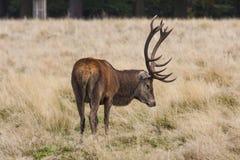 Beta för röda hjortar Royaltyfri Foto