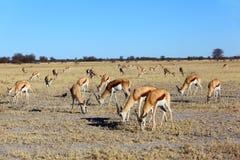 Beta för Springbok Royaltyfria Bilder