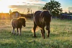 Beta för två ponnyer Fotografering för Bildbyråer