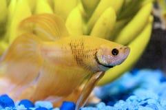 Beta fine del pesce su Fotografia Stock Libera da Diritti