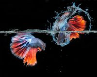 Beta Fish Fighting photos stock
