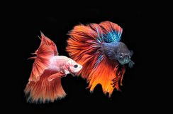 Beta Fish Fighting photographie stock libre de droits