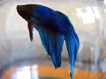 Beta Fish Macro Stock Photo