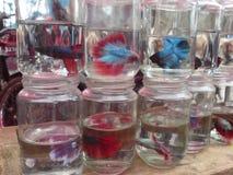 Beta Fish On Sale Fotografering för Bildbyråer