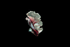 Beta fish Royalty Free Stock Image