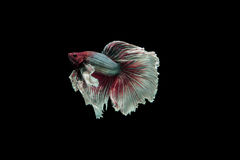 Beta fish Stock Image
