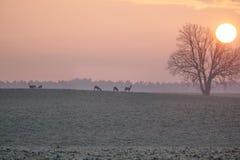 Beta hjortar på soluppgång royaltyfri fotografi