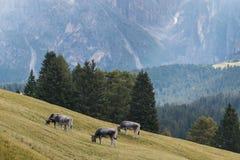 Beta kor i Dolomites Arkivbild