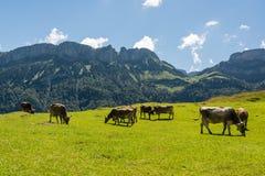 Beta kor i härliga Appenzell fjällängar royaltyfri fotografi