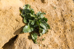 Beta maritima vulgaris, barbabietola del mare Fotografia Stock