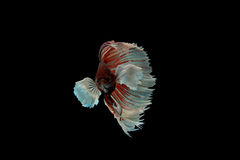 Beta peixes Imagens de Stock
