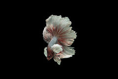 Beta peixes Fotos de Stock