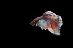 Beta peixes Imagem de Stock