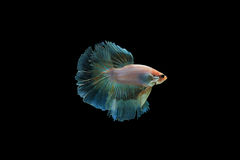 Beta peixes Imagens de Stock Royalty Free