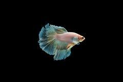 Beta peixes Fotografia de Stock Royalty Free