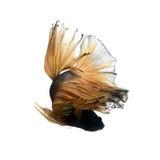 Beta peixes amarelos Fotos de Stock Royalty Free
