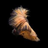 Beta peixes amarelos Fotos de Stock