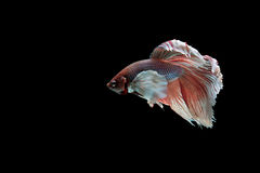 Beta pesce Immagine Stock