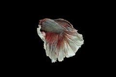 Beta pesce Fotografie Stock Libere da Diritti