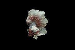 Beta pesce Fotografia Stock