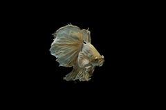 Beta pesce Fotografie Stock