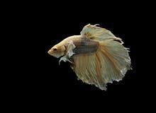 Beta pesce Fotografia Stock Libera da Diritti