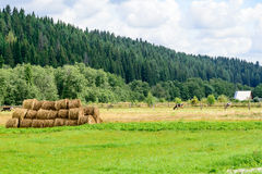 Beta platsen med hörullar, kor och potatisväxten i nordligt Royaltyfri Foto