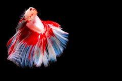 Beta Siamese Fighting Fish op geïsoleerd royalty-vrije stock afbeeldingen