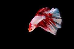 Beta Siamese Fighting Fish op geïsoleerd royalty-vrije stock foto's
