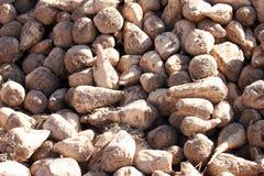 beta skördat socker Royaltyfri Fotografi