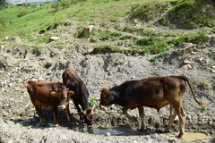 Beta tre Caucasian unga tjurar för mörk brunt i Kaukasuset M fotografering för bildbyråer