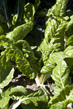 Beta vulgaris Stock Image