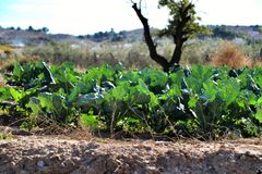 Beta Vulgaris, Mangoldplantage stockfoto