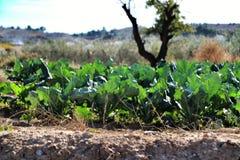 Beta Vulgaris, swiss chard plantation. In Alicante, Spain royalty free stock images