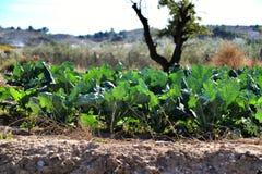 Beta Vulgaris, swiss chard plantation. In Alicante, Spain stock photo