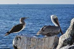 Betaalde pelikaan en Blauw boobie royalty-vrije stock afbeeldingen