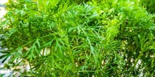 Betadin rośliny liście zdjęcie royalty free