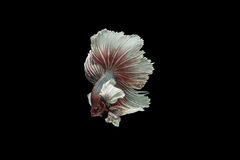 Betafische Stockfoto