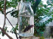 Betafische in einem botle lizenzfreie stockbilder