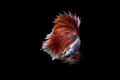 Betafischschwimmen auf schwarzem Hintergrund Lizenzfreies Stockbild