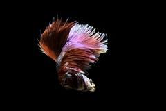 Betafischschwimmen auf schwarzem Hintergrund Lizenzfreie Stockfotos